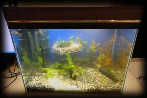 Создание пресноводного аквариума 40 литров с нуля. - запустил 1.jpg
