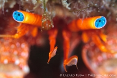 Hermit crab eyes photograph