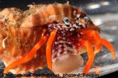 Phimochirus-operculatus,-photo-J.-Poupin