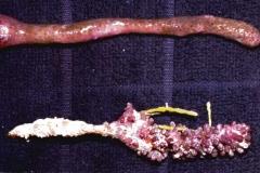 Briareum-asbestinum-две-формы-одного-вида