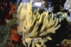 Lobophytum