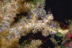 Neospongodes2