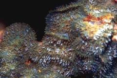 Rhodactis-indosinensis