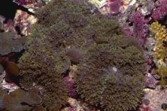 Rhodactis-indosinensis2