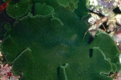 Rhodactis-(Platyzoanthus)-mussoides2