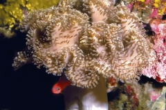 Sarcophyton-glaucum