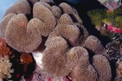 Sarcophyton-trocheliophorum