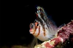 Рыба-ястреб-Cirrhitichthys-falco