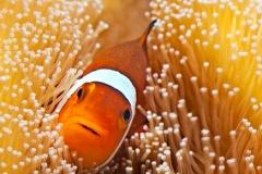 рыба-клоун-Amphiprion-ocellaris