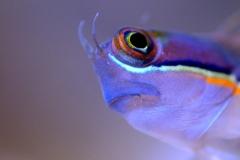 рыба-собачка-Blennies