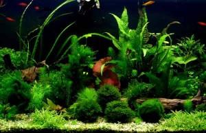 Растения в пресноводном аквариуме