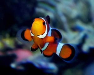рыба-клоун-Amphiprion-ocellaris-2