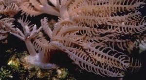 Пинулюсы-мягких-кораллов